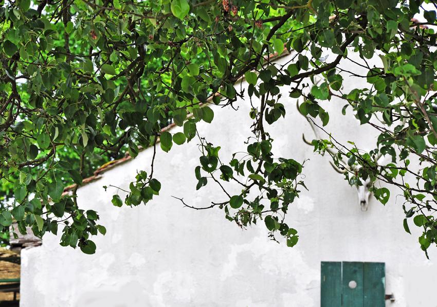 Birnbaum04_Haus